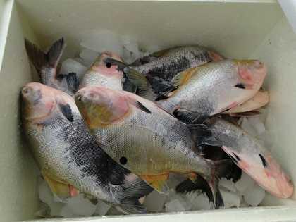 feira do peixe sena