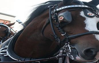 cavalo-com-antolho-346x220.png